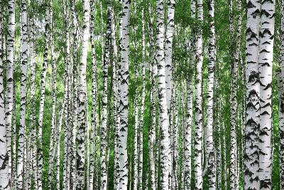Trunks of Summer Birch Trees-Elena Kovaleva-Photographic Print