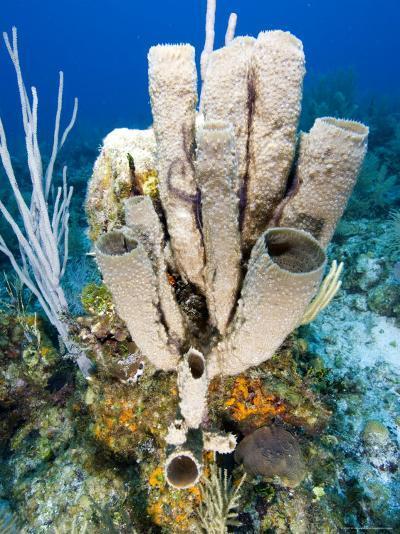 Tube or Stove Pipe Sponge-Tim Laman-Photographic Print