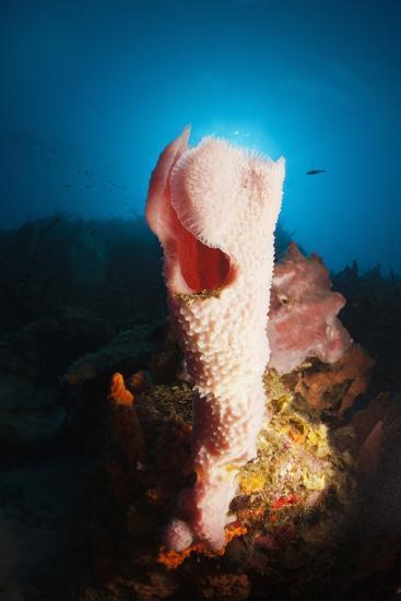 Tube Sponge on a Coral Reef-Reinhard Dirscherl-Photographic Print