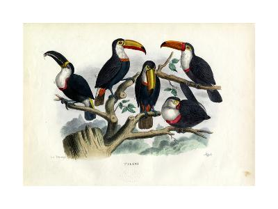 Tucans, 1863-79-Raimundo Petraroja-Giclee Print