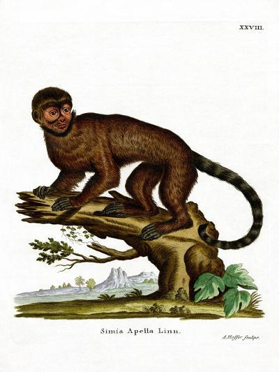Tufted Capuchin--Giclee Print