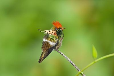 Tufted Coquette Hummingbird (Lophornis Ornatus) Hummingbird Adult Male Perched-Melvin Grey-Photographic Print