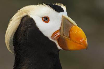 https://imgc.artprintimages.com/img/print/tufted-puffin-bird-oregon-coast-aquarium-newport-oregon-usa_u-l-pie3420.jpg?p=0