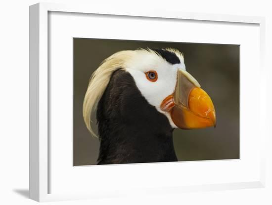 Tufted Puffin Bird, Oregon Coast Aquarium, Newport, Oregon, USA-Rick A. Brown-Framed Photographic Print