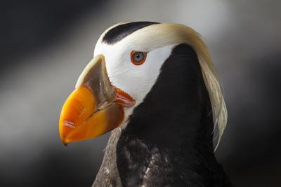 https://imgc.artprintimages.com/img/print/tufted-puffin-bird-oregon-coast-aquarium-newport-oregon-usa_u-l-pif0rr0.jpg?p=0