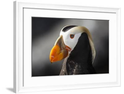 Tufted Puffin Bird, Oregon Coast Aquarium, Newport, Oregon, USA-Rick A^ Brown-Framed Photographic Print