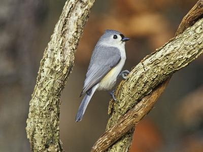Tufted Titmouse (Baeolophus Bicolor), Eastern North America-Steve Maslowski-Photographic Print