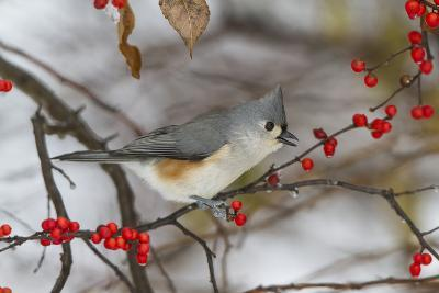 Tufted Titmouse in Common Winterberry Bush in Winter, Marion County, Illinois-Richard and Susan Day-Photographic Print