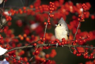Tufted Titmouse in Common Winterberry in Winter, Marion County, Illinois-Richard and Susan Day-Photographic Print