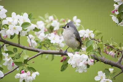 Tufted Titmouse in Crabapple Tree in Spring. Marion, Illinois, Usa-Richard ans Susan Day-Photographic Print