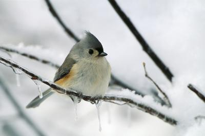 Tufted Titmouse on Branch in Snow--Photographic Print