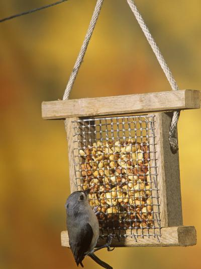 Tufted Titmouse (Parus Bicolor) Feeding at a Nut Feeder, North America-Steve Maslowski-Photographic Print
