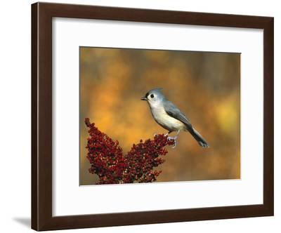 Tufted Titmouse (Parus Bicolor) Perching, Long Island, New York-Tom Vezo/Minden Pictures-Framed Photographic Print