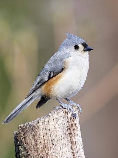 Tufted-Titmouse-Gary Carter-Photographic Print