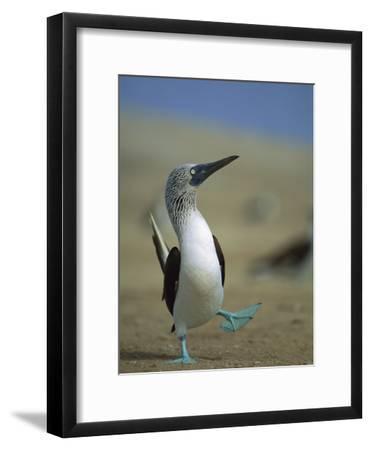 Blue-Footed Booby (Sula Nebouxii) Courtship Dance, Lobos De Tierra Island, Peru