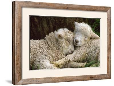 Tukidale Sheep Lambs, Raised for Carpet Wool--Framed Photographic Print