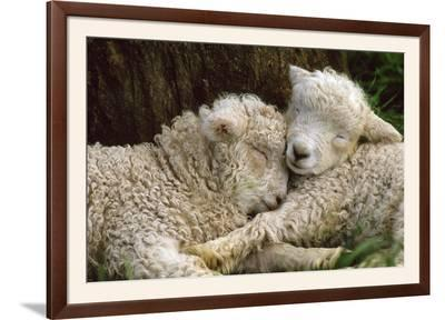 Tukidale Sheep Lambs, Raised for Carpet Wool--Framed Photographic Print