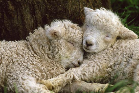 Tukidale Sheep Lambs, Raised for Carpet Wool--Photographic Print
