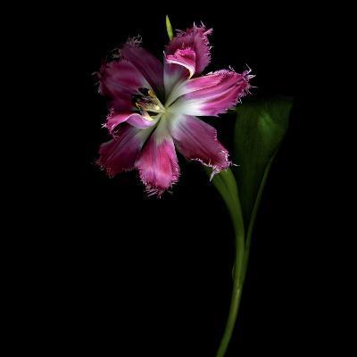 Tulip 1-Magda Indigo-Photographic Print