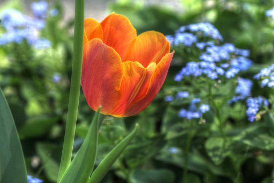 Tulip Blue Background-Robert Goldwitz-Photographic Print