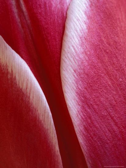 Tulip Detail, Rochester, Michigan, USA-Claudia Adams-Photographic Print