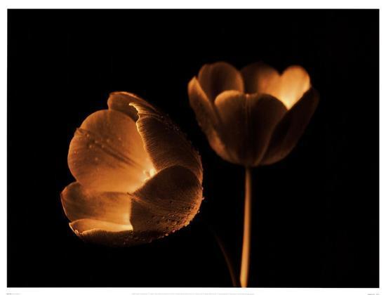 Tulip Duo-Ilona Wellmann-Art Print