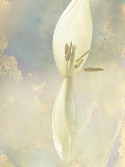 Tulip Fading-Mia Friedrich-Photographic Print