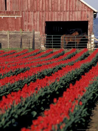 Tulip Field and Barn with Horses, Skagit Valley, Washington, USA-William Sutton-Photographic Print