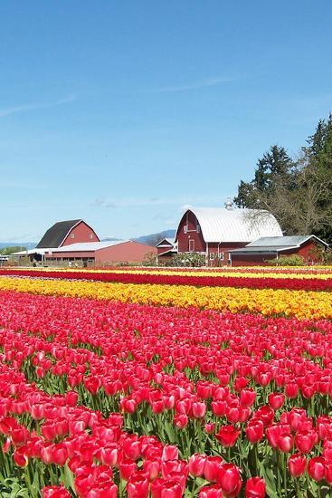 Tulip Field and Barn-Lantern Press-Wall Mural
