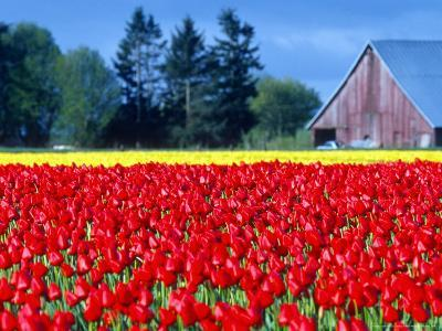 Tulip Field, Washington, USA-William Sutton-Photographic Print