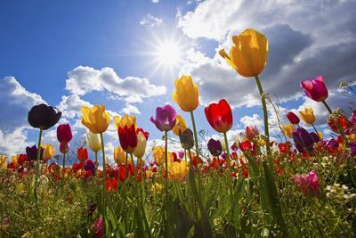 https://imgc.artprintimages.com/img/print/tulip-fields-wooden-shoe-tulip-farm-woodburn-oregon-united-states_u-l-pznwvp0.jpg?p=0
