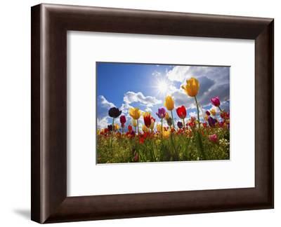 Tulip Fields, Wooden Shoe Tulip Farm, Woodburn Oregon, United States-Craig Tuttle-Framed Photographic Print