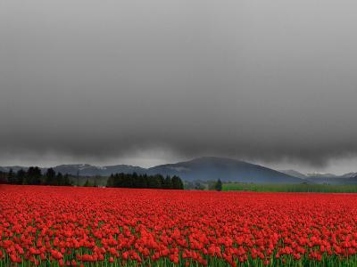 Tulip Fields-Howard Ruby-Photographic Print