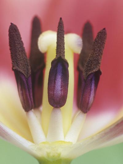 Tulip Flower Petals Removed to Show the Stamens, Pollen Grains, and the Central Pistil, Tulipa-Adam Jones-Photographic Print