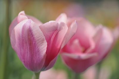 Tulip Flower Pink Mirella-Cora Niele-Photographic Print