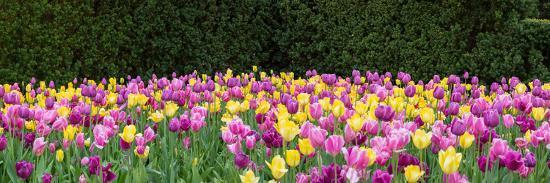 Tulip flowers in a garden, Chicago Botanic Garden, Glencoe, Cook County, Illinois, USA--Photographic Print