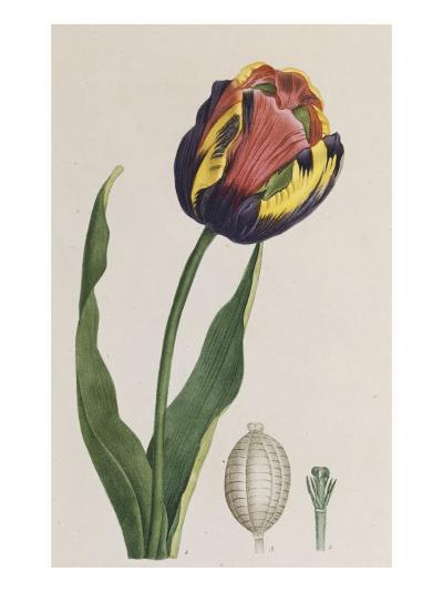 Tulip, French Plants, Painted from Nature--Giclee Print