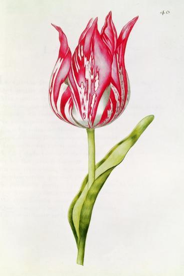 Tulip, from 'La Guirlande De Julie', C.1642-Nicolas Robert-Giclee Print