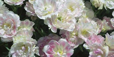 https://imgc.artprintimages.com/img/print/tulip-garden_u-l-q10vl690.jpg?p=0