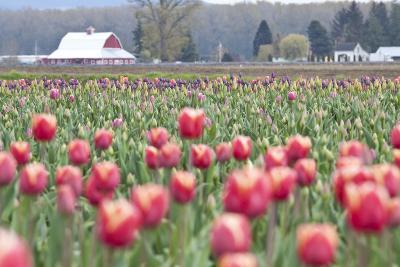 Tulip Homestead-Dana Styber-Photographic Print