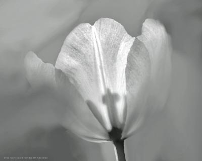https://imgc.artprintimages.com/img/print/tulip-ii_u-l-f4eqi30.jpg?p=0
