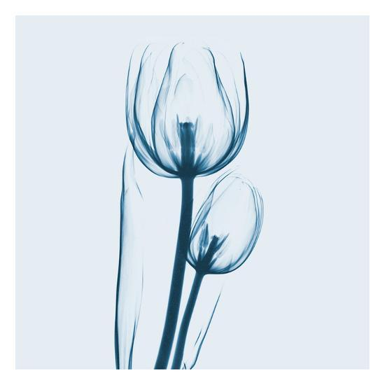 Tulip in Blue-Albert Koetsier-Art Print