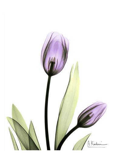 Tulip in Full Bloom-Albert Koetsier-Art Print