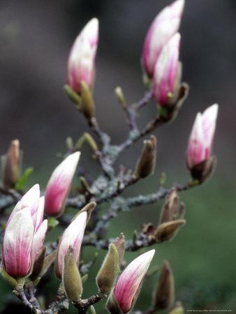 https://imgc.artprintimages.com/img/print/tulip-magnolia-blossom-washington-park-arboretum-seattle-washington-usa_u-l-p4m5wj0.jpg?p=0