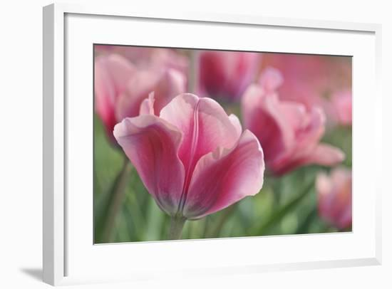 Tulip Mirella Pink-Cora Niele-Framed Photographic Print