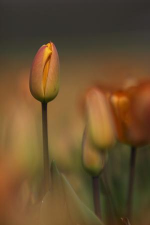 https://imgc.artprintimages.com/img/print/tulip-no-5_u-l-q1agzt60.jpg?p=0