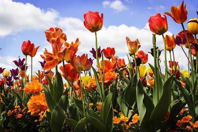 Tulip Parade I-Alan Hausenflock-Photographic Print