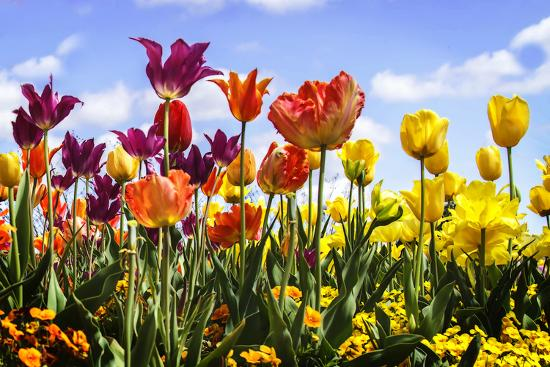 Tulip Parade II-Alan Hausenflock-Photographic Print
