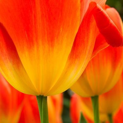 https://imgc.artprintimages.com/img/print/tulip-s-petals_u-l-pzlsp70.jpg?p=0