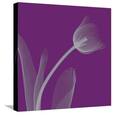 Tulip/Silver (small)-Steven N^ Meyers-Stretched Canvas Print